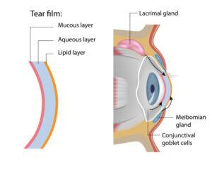 Graphic describing the anatomy of the eyeball